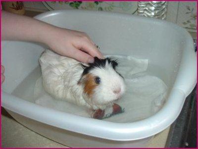 Морские свинки уход и содержание