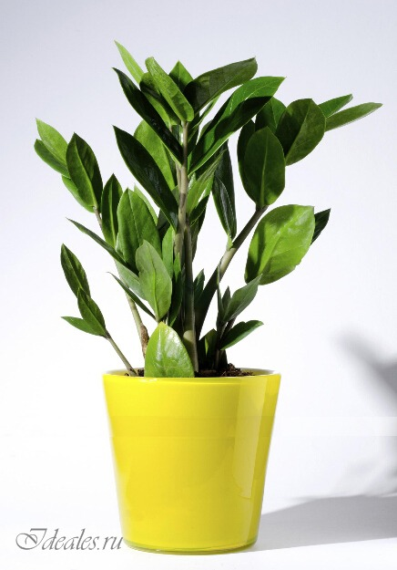 Замиокулькас - уход и особенности выращивания, Секреты красоты и здоровья женщины