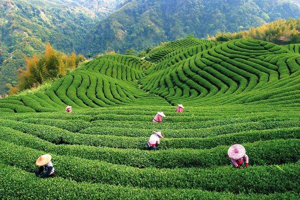 Чайные плантации в Китае