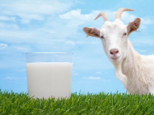 Козье молоко для грудничка: с какого возраста давать