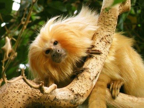 желтая земляная обезьяна