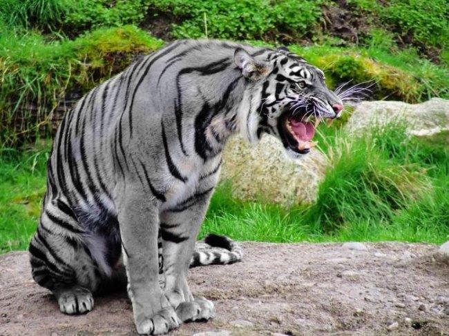 черный водяной тигр