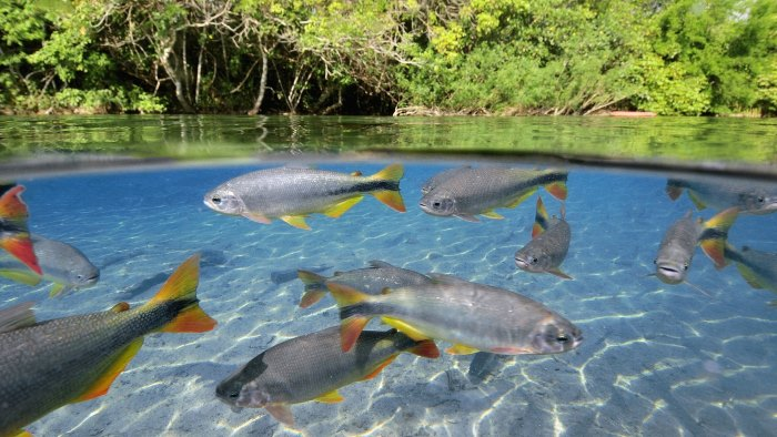 сонник живая рыба в мутной воде