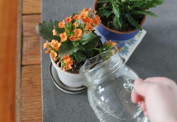 Каланхоэ – уход, лечебные свойства растения
