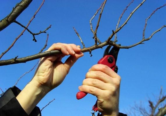 Мушмула – что это, фото, полезные свойства, как вырастить и приготовить фрукт