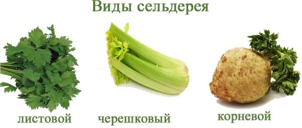 Сельдерей корневой, рецепты приготовления, использования, польза и вред для здоровья, как употреблять в пищу, заготовка, хранение на зиму