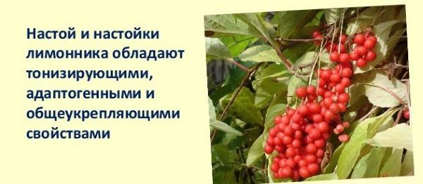 Лимонник: китайский, дальневосточный, крымский. Польза, лечебные свойства, как приготовить и принимать