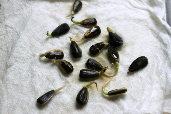 пророщенные семена подсолнечника, подсолнуха