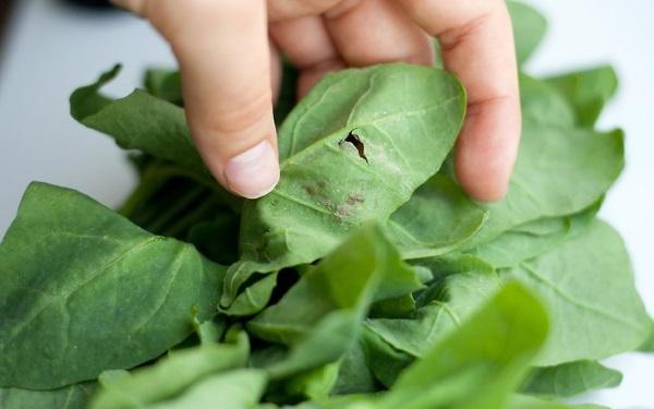 Шпинат – польза и вред для здоровья женщин, мужчин, детей. Как заморозить. Блюда из шпината, рецепты приготовления