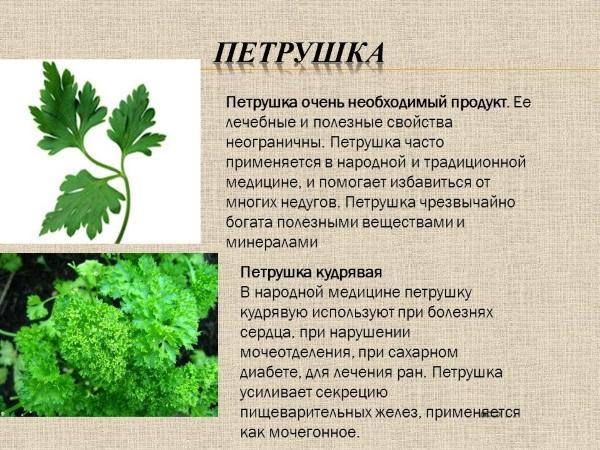 Польза и лечебные свойства петрушки для здоровья женщин, мужчин, беременных. Рецепты применения в кулинарии, косметологии, гинекологии