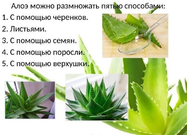 Алоэ - лечебные свойства, польза и вред, рецепты применения в народной медицине и косметологии. Как приготовить настойку и употреблять