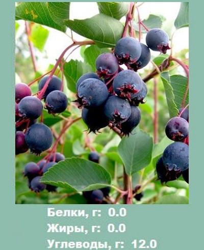 Ирга. Полезные свойства и противопоказания ягоды для женщин, мужчин и детей. Рецепты применения для лечения заболеваний