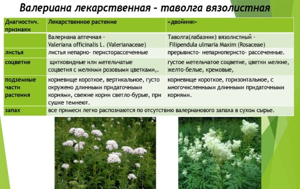 Таволга. Фото, полезные, лечебные свойства растения, показания и противопоказания. Где растет, как собирать