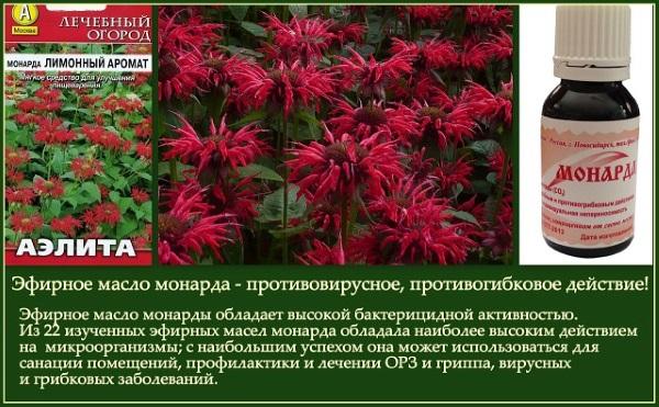 Бергамот. Что это за растение, фото, полезные и лечебные свойства травы, применение