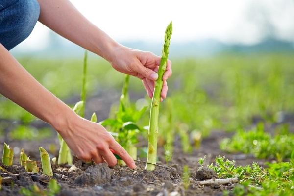 Cпаржа - соевая, лекарственная. Польза и вред, как растет, фото растения, как готовить зеленую свежую и сухую, рецепты