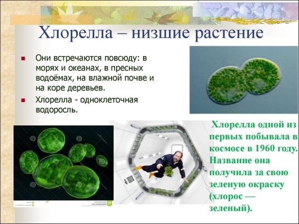 Хлорелла. Полезные свойства и противопоказания. Инструкция по применению таблеток, цена