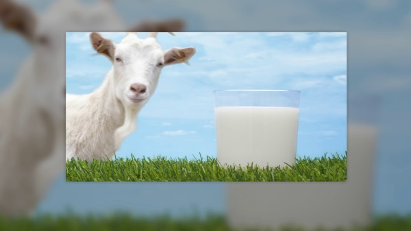 Козье молоко. Польза и вред, свойства и противопоказания. Чем полезно для детей, пожилых людей, как сделать сыр, творог, брынзу