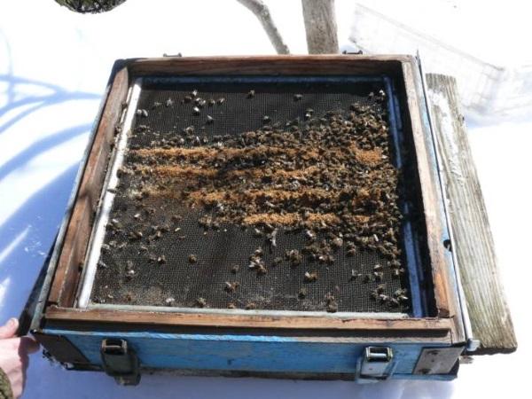 Подмор пчелиный. Применение, состав, лечебные свойства, польза и вред для мужчин, женщин, детей. Рецепты для лечения заболеваний, заготовка и хранение