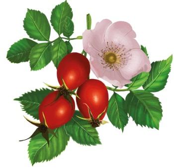 Рябина красная. Полезные свойства, польза и вред для здоровья. Рецепты приготовления и применения