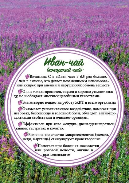 Иван-чай: польза и вред, свойства для женщин, мужчин. Как заваривать, пить, противопоказания