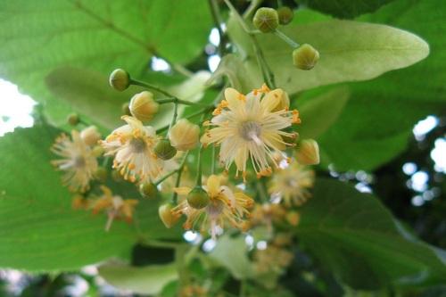 Полезные свойства липы: цветков, травы, листьев. Как готовить и применять чай, мед, настой. Противопоказания