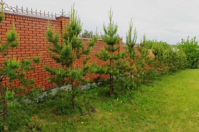Дерево сосна. Фото и описание листьев, польза хвойного дерева, энергетика. Посадка и уход