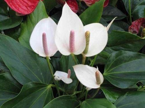 Цветок Женское счастье. Фото, приметы, уход за спатифиллумом, пересадка. Как ухаживать, что делать, если сохнут листья