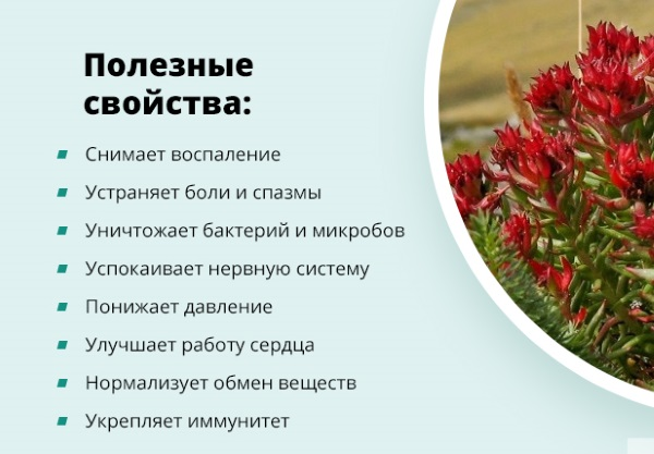 Полезные свойства Родиолы розовой. Как приготовить экстракт, настойку, рецепты применения и противопоказания