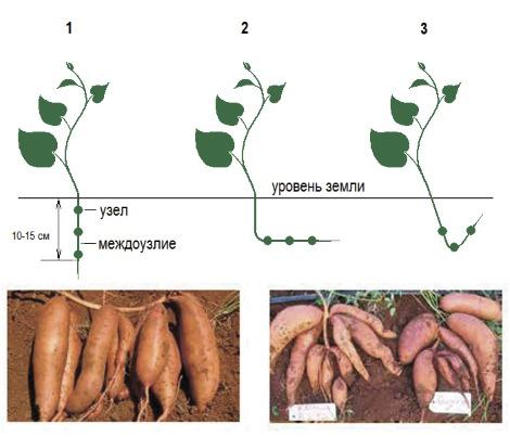 Батат: польза и вред, свойства, рецепты со сладким картофелем, блюда, посадка, выращивание и уход