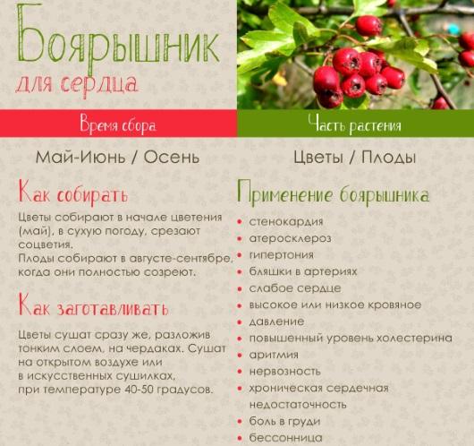 Полезные свойства плодов боярышника для женщин, мужчин и детей. Рецепты, как приготовить, заваривать, хранить на зиму. Противопоказания
