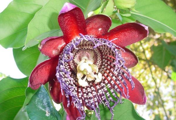 Маракуйя. Фото фрукта, вкус, полезные свойства растения. Саженцы, как растет, цветет цветок
