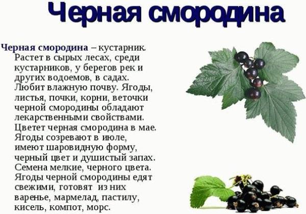 Листья смородины. Лечебные свойства, рецепты применения, противопоказания
