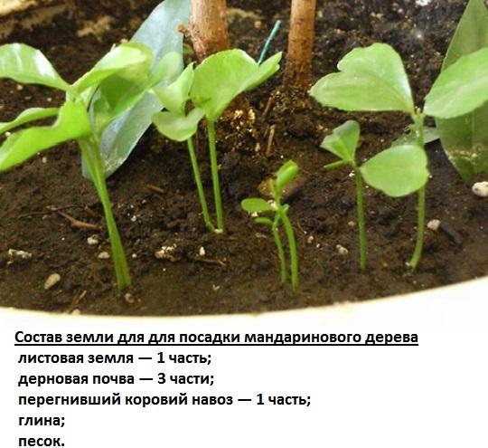 Мандариновое дерево. Выращивание и уход в домашних условиях. Как прищипывать, болезни