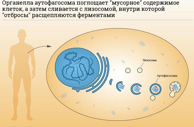Аутофагия - правильное очищение организма. Что это, как голодать, меню, отзывы врачей