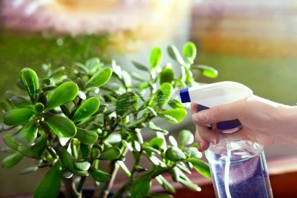 Бонсай. Уход в домашних условиях. Фото, виды, выращивание, сколько растет комнатный цветок, семена, пересадка