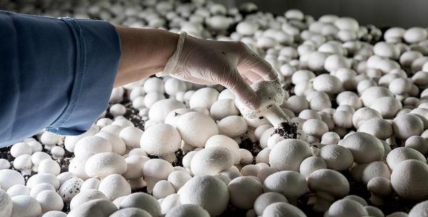 Как выращивать шампиньоны в домашних условиях. Курс для начинающих, видео