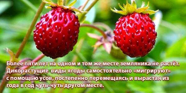 Лесные ягоды. Названия и фото съедобные и несъедобные, как выглядят. Список