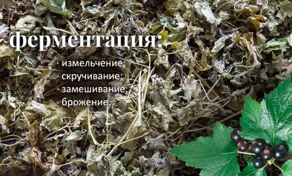 Листья черной смородины. Лечебные свойства и рецепты применения, как употреблять