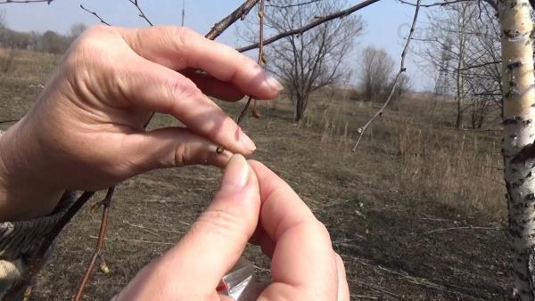 Почки берёзы. Лечебные свойства, рецепты лечения листьями, противопоказания