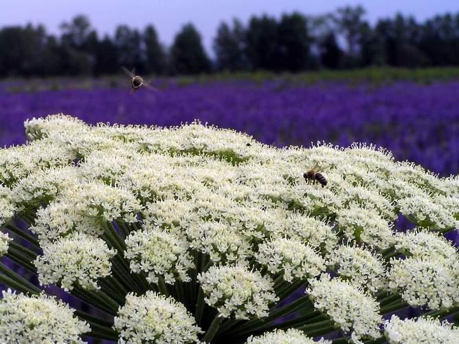 Борщевик растение. Фото ядовитого, обыкновенного сибирского, Сосновского. Полезные свойства, рецепты