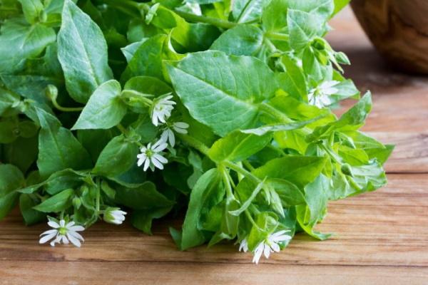 Мокрец трава. Фото, полезные и лечебные свойства, заготовка, рецепты применения
