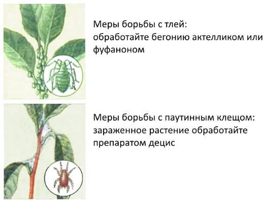 Иван-да-Марья цветок. Фото, описание, где растет, полезные свойства, бегония комнатная