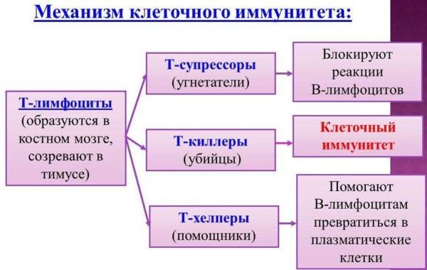 Агарикус (лиственничная губка): целебные свойства, рецепты применения