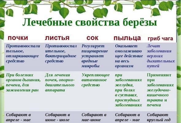 Березовые листья. Лечебные свойства, рецепты применения, как применять, противопоказания