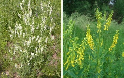 Донник трава. Лечебные свойства, рецепты применения, противопоказания