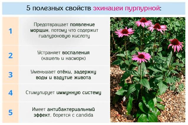 Эхинацея трава. Показания к применению, лечебные свойства, как заваривать, принимать