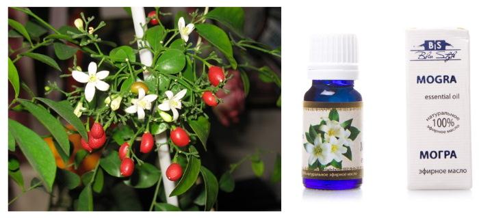 Мурайя. Фото цветка, лечебные свойства, польза и вред, уход и выращивание