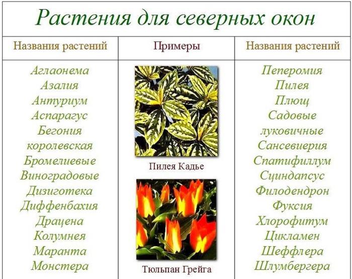 Комнатные цветы: розы и каладиум. Температурный режим и уход за ними