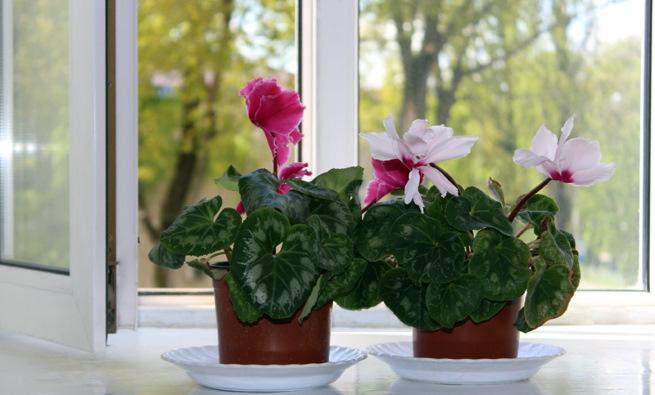 Цикломения цветок. Фото, уход в домашних условиях, лечебные свойства