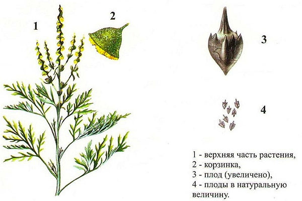 Амброзия полыннолистная. Фото растения крупным планом, когда цветет, польза и вред, аллергия
